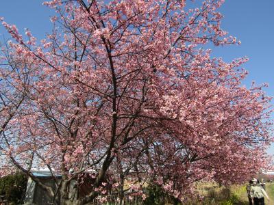 小出川の桜並木