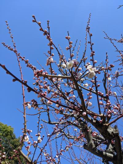 梅の香りを楽しみに!長居公園にて!