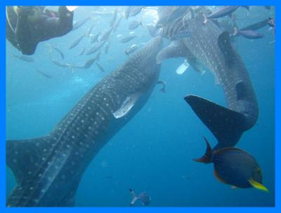 沖縄2014冬(10)ジンベエザメとダイビング