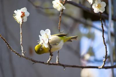 早春の綾部山梅林