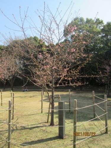 柏市の柏の葉公園・御手植え河津桜・2021年2月