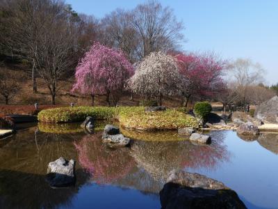 「みかも山・万葉庭園」のウメ_2021_咲き始め、見頃間近です(栃木県・佐野市)