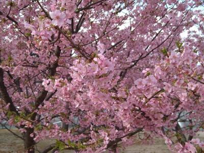 早春の萩 お花見ドライブ(梅・河津桜・椿)