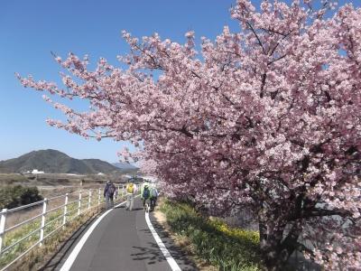 朝比奈川堤の河津桜と朝日山城跡