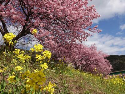 南伊豆へ 2021.02.14 =2.みなみの桜と菜の花まつり=