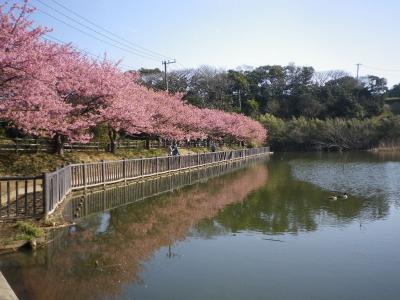 三浦の河津桜散策