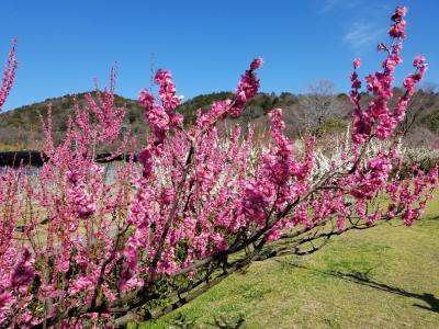 「東谷山フルーツパーク」のももの花
