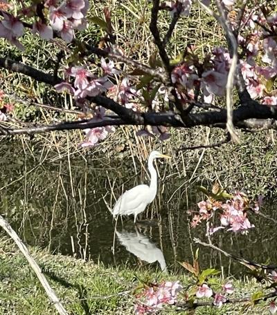 花を求めて 河津桜と鳥