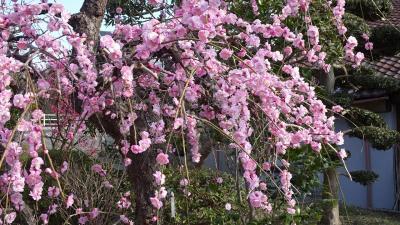 宝塚市へ買い物の序で、梅の花とミモザを見てきました その2。