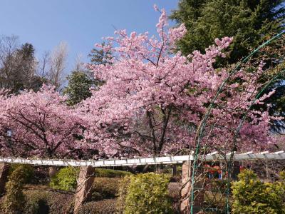 じゅん菜池緑地の梅、里見公園の河津桜と梅☆motoi☆2021/02/24