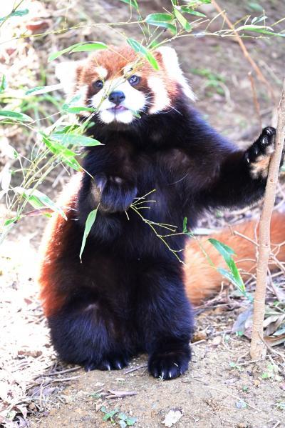 レッサーパンダはかわゆい !!! 大牟田市動物園