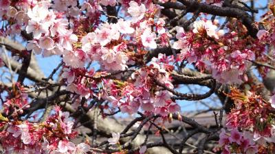 宝塚市へ買い物の序で、梅の花とミモザを見てきました その4。