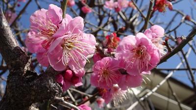 宝塚市へ買い物の序で、梅の花とミモザを見てきました その5。