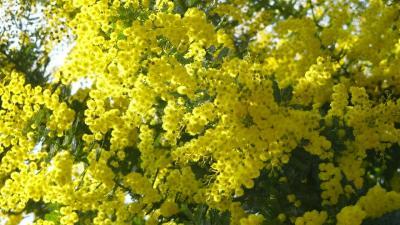 宝塚市へ買い物の序で、梅の花とミモザを見てきました その6完。
