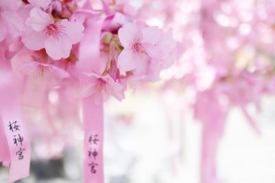桜新町の桜神宮の河津桜