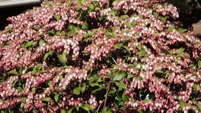 安倉北公園へサンシュユの花を見に出かけました 中巻。