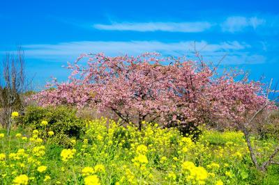 豊前の河津桜下見 2021