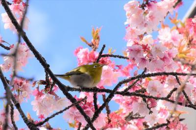 河津桜で遊ぶメジロたち2021~蜜を求めてやって来るチャーミングな野鳥~(川崎市中原)