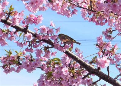 河津桜の並木 !  飛鳥川堤防