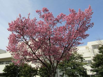 柏尾川のおかめ桜は満開です-2021年