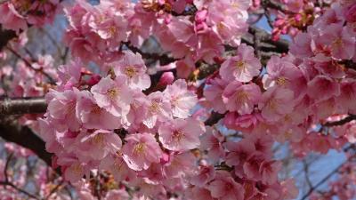 ゴンママが出掛けた留守番中の散歩は、河津桜を見に笹原公園と昆陽南公園へ その2。
