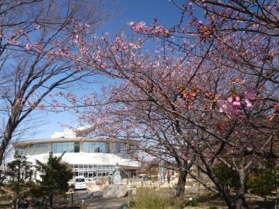 「道の駅めぬま」の吟子桜(河津桜)_2021_咲き始め、ですが綺麗です(埼玉県・熊谷市)