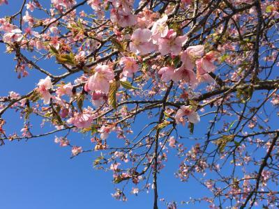 八千代新川千本桜を愛でようとしましたが、2週続けてフライングしました。