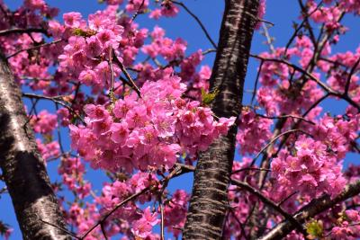 江川せせらぎ遊歩道の河津桜2021~春を彩る早咲き桜~(川崎市中原)