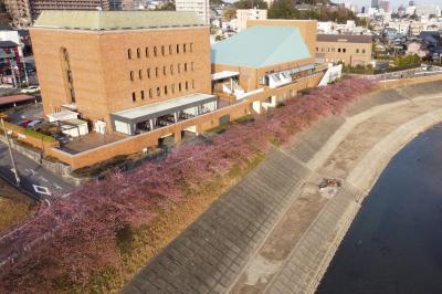 岡崎城の少し東にある竜美会館の河津桜で和船を漕いできました