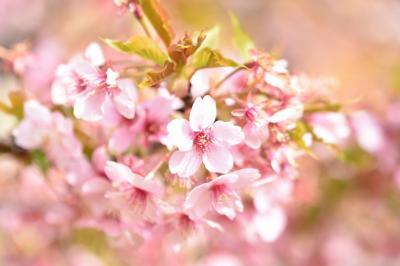 河津桜♪と吊るし雛.。o○行って来ました日帰りで(*´Д`)。。河津桜編