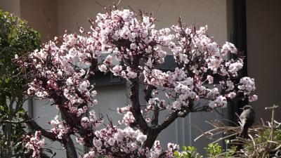 ゴンママが出掛けた留守番中の散歩は、河津桜を見に笹原公園と昆陽南公園へ その3。