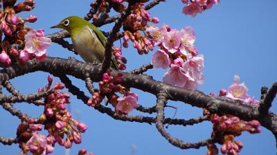 ゴンママが出掛けた留守番中の散歩は、河津桜を見に笹原公園と昆陽南公園へ その4。