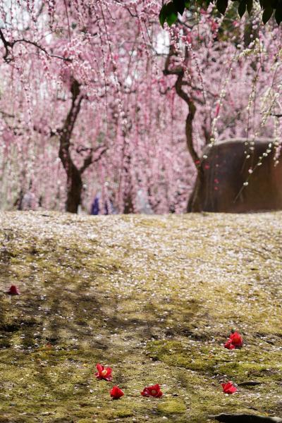 20210301-2 京都 城南宮の枝垂れ梅が見頃ってんで、行ってみますと…しばらくぶりの人混みで…