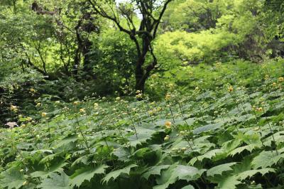 徳島・キレンゲショウマ咲く剣山登山