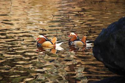 ◆初冬の福島~釈迦堂川の白鳥&大池のオシドリ観察記