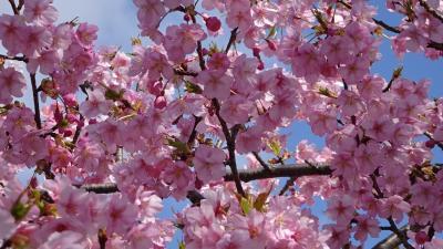 春爛漫 伊丹市の苗🈨でも、桜が見頃になってきました その1。