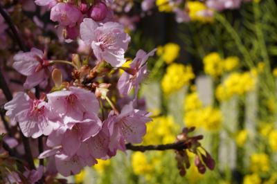 20210303-1 京都 ちと冷えるけれど、えぇ天気。淀の河津桜はお花見日和。