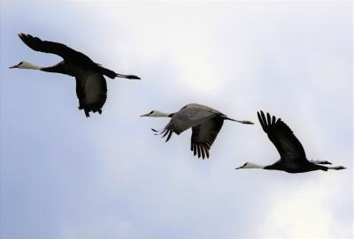 日本一の鶴の渡来地出水で野生のなべ鶴と初逢瀬