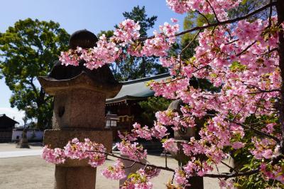 20210303-3 京都 與杼神社にも河津桜ですねぇ。ちうか、ヨドって読むのね。