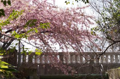 20210304-1 京都 意外と良い天気。一条戻橋の早咲き桜を観に。