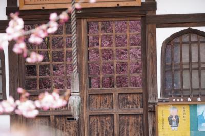 20210304-3 京都 近くって事も無いけれど、出町の長徳寺へ。おかめ桜、もうえぇ感じやん。