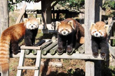 姫路・鯖江レッサーパンダ遠征~公共交通機関では9ヶ月ぶり(7)西山動物園:成長した令花ちゃん・ニーコちゃん&ぎりぎり紅葉パンダ