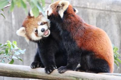 姫路・鯖江レッサーパンダ遠征~公共交通機関では9ヶ月ぶり(8)西山動物園:元気いっぱい大きな赤ちゃんピースケとかのこママ&リスザルの赤ちゃん