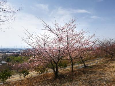 「太田・河津桜の里」の河津桜_2021_開花は、まだ1~2割程度でした(群馬県・太田市)