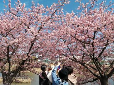 花見対決…岡崎天満宮のしだれ梅 vs 乙川沿いの河津桜