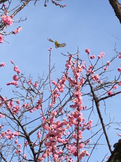 京都ゆったり旅行!…春の訪れをメジロが告げに…ひとり旅編!