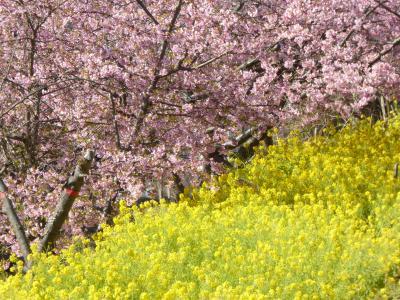 2021 桜散歩(行徳近郊緑地・丸浜川沿い:河津桜と菜の花)