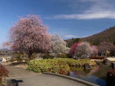 「みかも山・万葉庭園」のウメ_2021(2)_見頃終盤、散り始めていました(栃木県・佐野市)