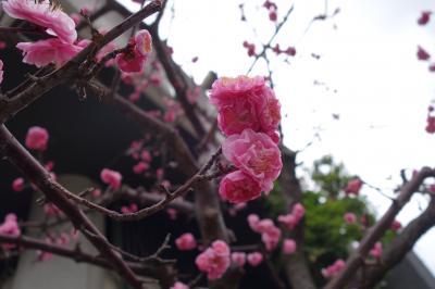 20210306-3 大阪 天神さんの梅は見頃過ぎかな?それにしても人が多い…合格祈願の季節か…