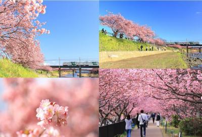185系とのコラボは今年で最後…コロナ禍でも咲き誇った「河津桜」を見に行く、日帰り爆走旅〜